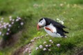 Puffin on Látrabjarg - Iceland