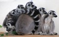 Ring tailed lemurs sheltering from the rain on a porch