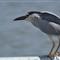 Night Heron-female2