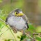 Noisy Miner chick