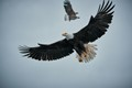 Bald eagles on a feeding frenzy in Ketchikan AK