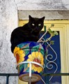 Potted Black Cat