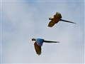 Macaws from Peru