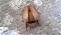 BugButt
