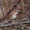 Song sparrow P9280120-1