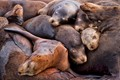 Sleeping Safely In Numbers - Californian Sealions