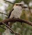 Kookaburra sits next to an old gum tree