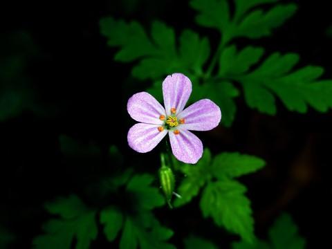 Geranium robertianum Rodiska pecina