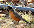 A Robin redbreast posing for me in the yard!