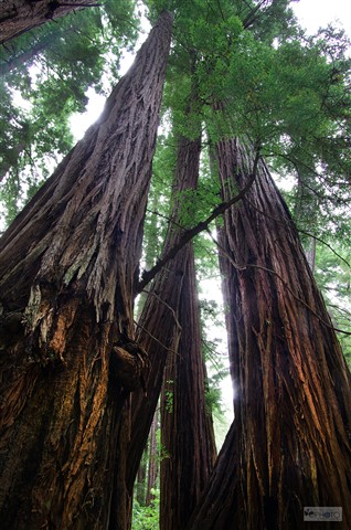 SF - Redwoods at Muir Woods California