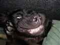 Buoy - Newfoundland Puppy
