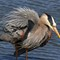 GBH Grabs A Quick Snack From The Salt Marsh 05