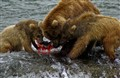 Brown bear family eating salmon