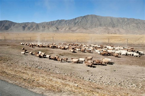 _7BL1439S Herd migration, on the way to Koktokay Mine No 3
