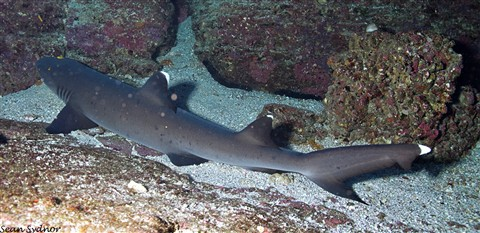 white tip sharks_02