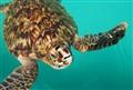 Cuban turtle