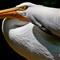 Pelican_MG_6982