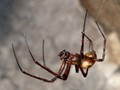 Large Cave Spider