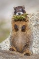 Marmot with a mouthful
