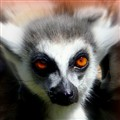 Lemur's Eyes