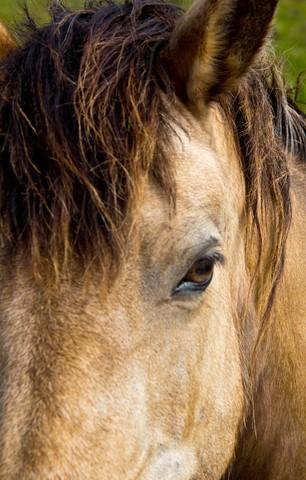 Connemara Pony