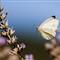Farfalla bianca P8103131 rid