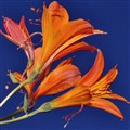 orange flower, blue sky