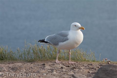 Seagull_
