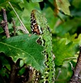 Lizard (Podarcis tauricus)