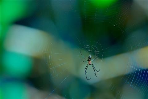 Crab Orchard Spider, Weedon Island Preserve, Florida