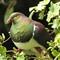 Kereru - New Zealand Wood Pigeon