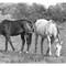 Horses 2 (B&W)