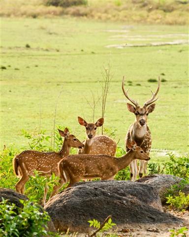 Spotted deers
