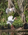 Two White Ibis discussing the finer things of life, mating season brings out the best of all the animals and birds.