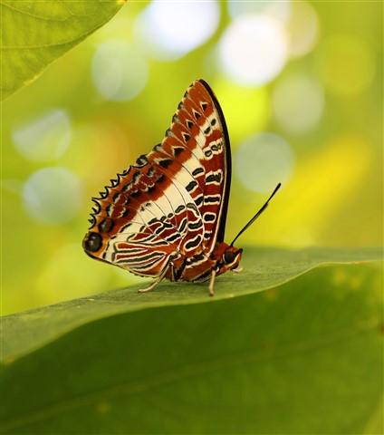 butterfly gldn brn wht grn 1603