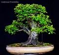 Carpinus orientalis