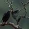 Grey winged black-bird
