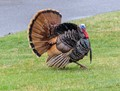 Turkey on my Lawn