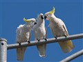 3 Cockatoos Whispering