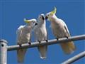 3 Cockatoos Whispering