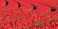 Curved lanes of red tulips