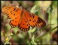 Butterfly-3-11x14