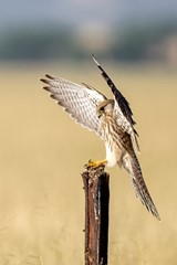 Kestrel's royal landing..