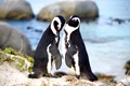 Jackass penguin pair - Boulders Beach South Africa - they make braying noises like a donkey and mate for life.
