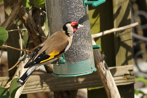 Goldfinch(50mm)_IMG_6308
