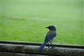 Young Blue Jay on a Park Bench