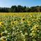 Sunflower (76 of 107)