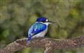 Forest Kingfisher_0691