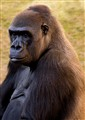 Lowland Gorilla, Angloa
