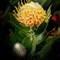 Wildflower, Western Australia.